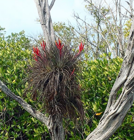 Wild tillandsia air plants growing in the Everglades