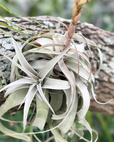 tillandsia xerographica air plant anchored to tree branch