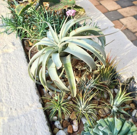 tillandsia air plants and succulents outside display