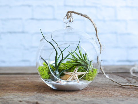 Tillandsia sea scape air plant terrarium