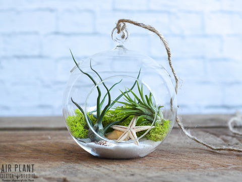 Air Plant Terrarium with Tillandsia bulbosa