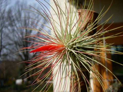 Tillandsia andreana air plant  in bloom