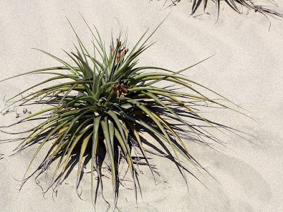 Tillandsia latifolia growing in the wild