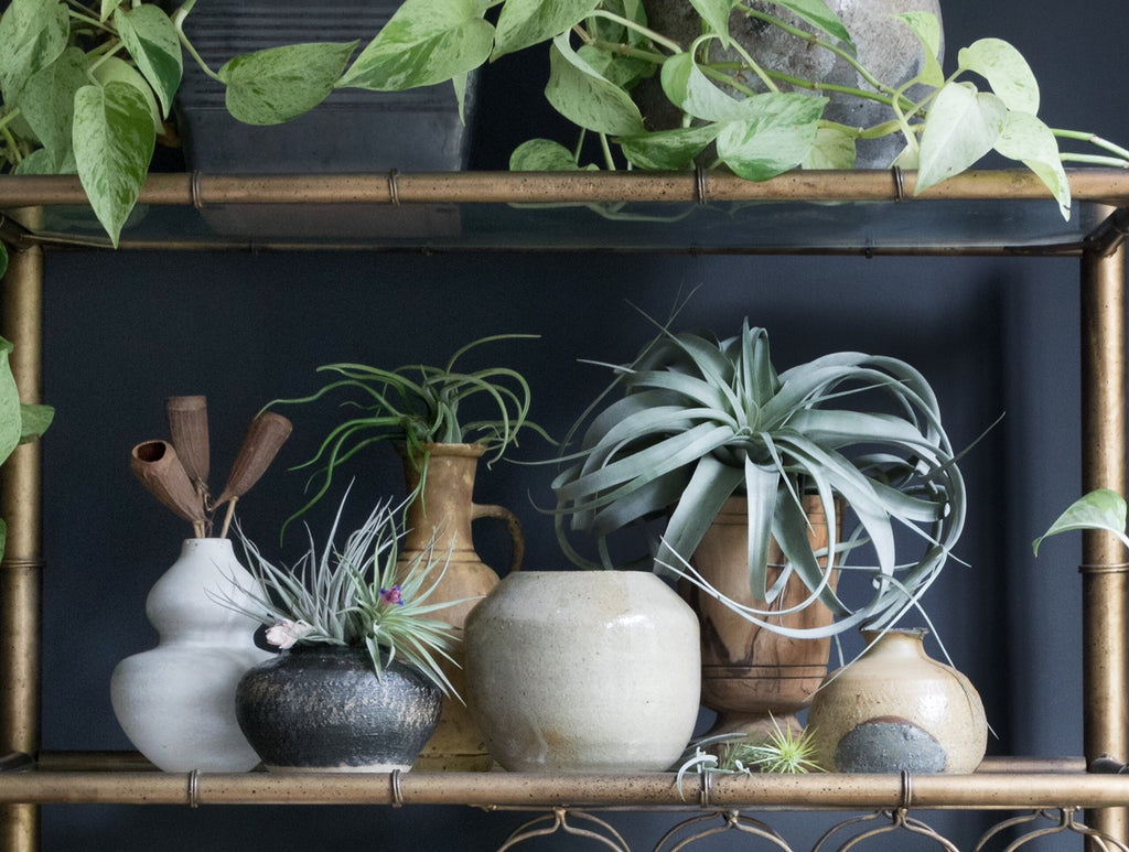 Air plants on shelf