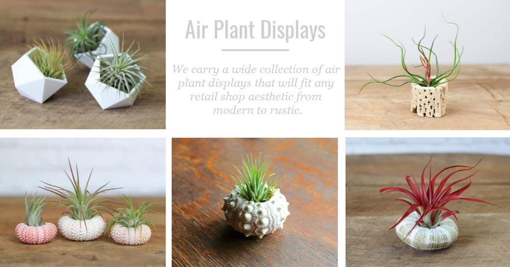 tillandsia air plant displays and gifts