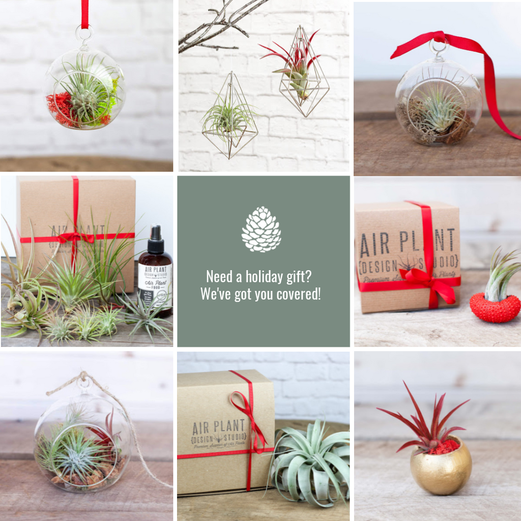Air plant holiday decor