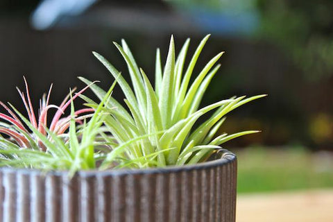 Tillandsia air plants in the sunlight