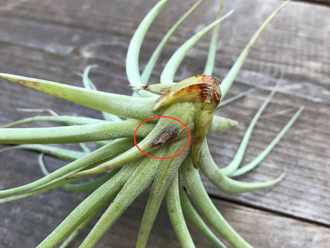 Tillandsia stricta with brown spot due to rot