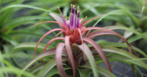 Tips for fertilizing air plants from Air Plant Design Studio