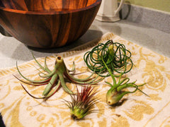 How To Care For Your Air Plant Watering Tips And More Air Plant