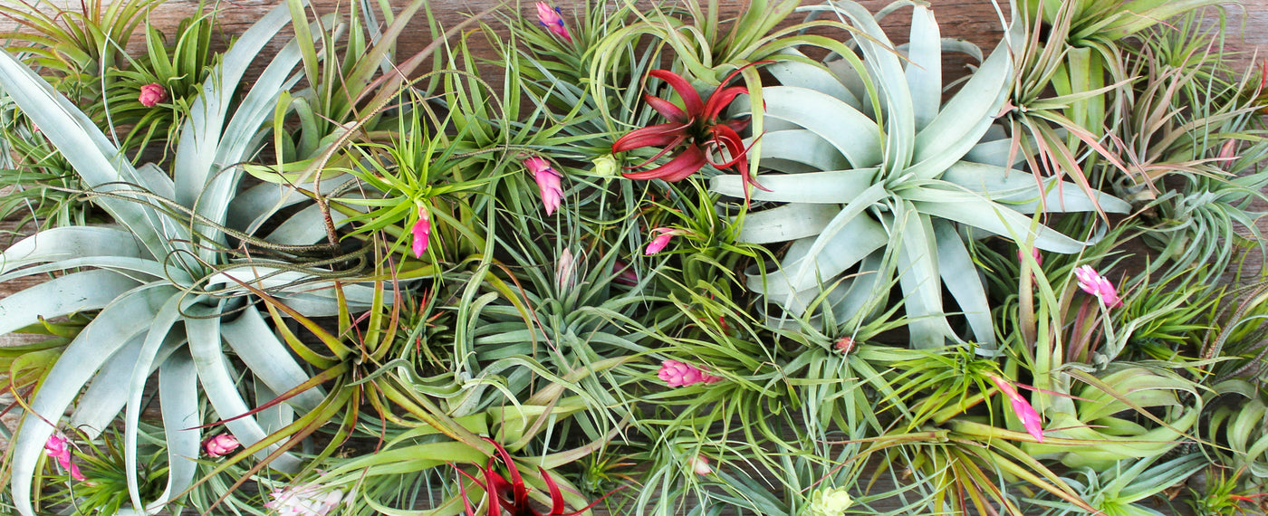Air plants tillandsia terrariums gifts air plant for Cheap air plants