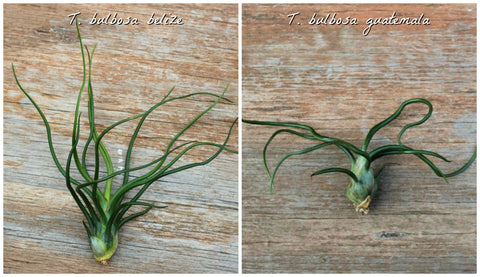 Tillandsia Bulbosa Belize and Tillandsia Bulbosa Guatemala
