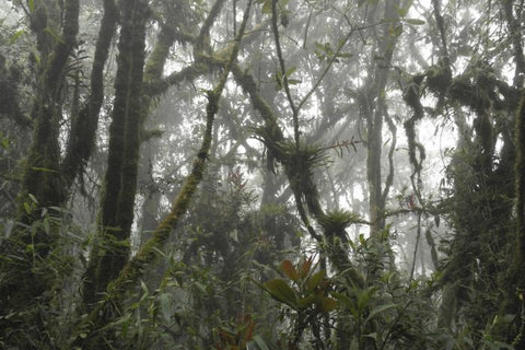 Epiphytes growing in cloud forest in Peru