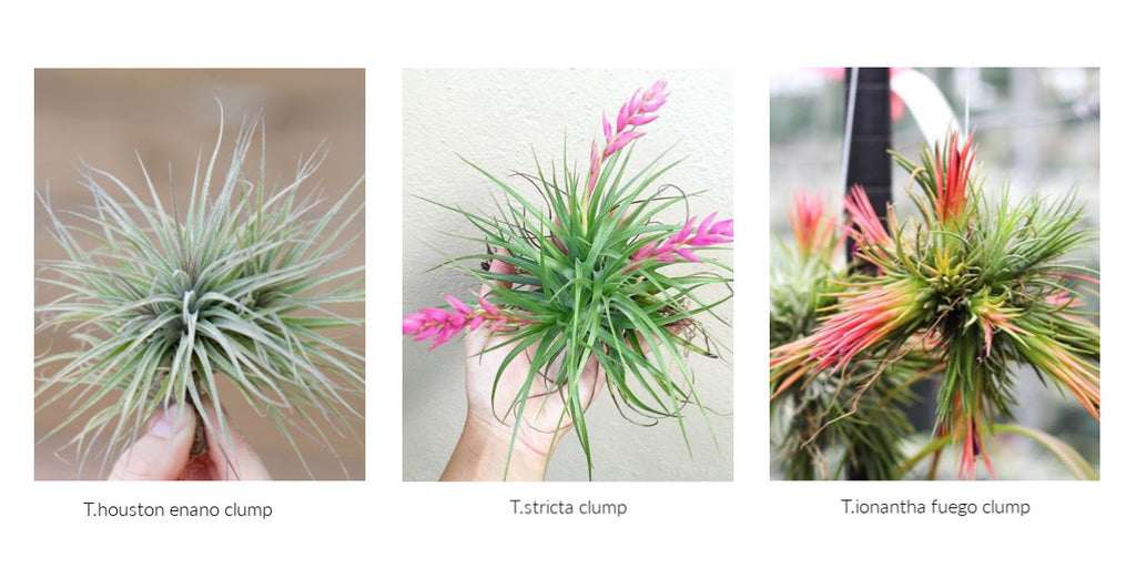 Tillandsia air plant clumps
