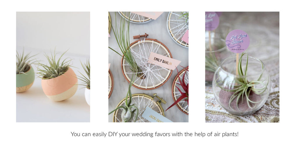 DIY Tillandsia air plant wedding favors