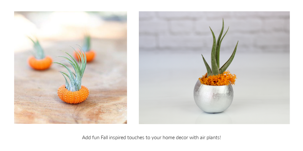 Fall inspired Tillandsia air plant decor