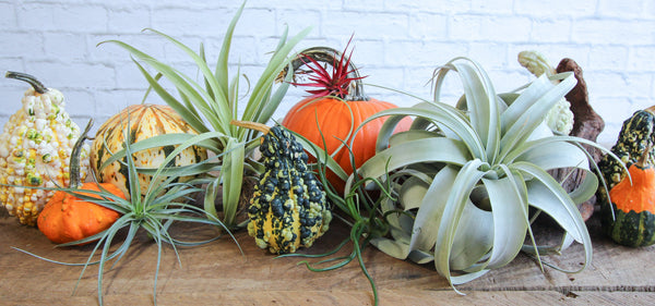 fall air plants
