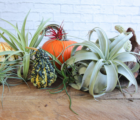 Fall inspired Tillandsia air plants and pumpkins