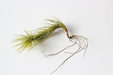 tillandsia Funckiana air plant with roots