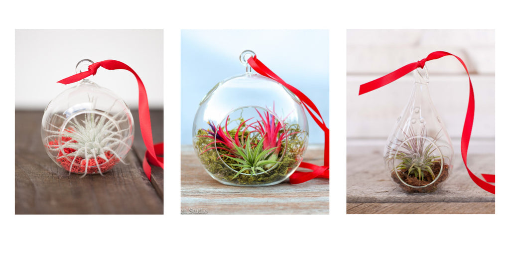 Tillandsia air plant holiday terrariums