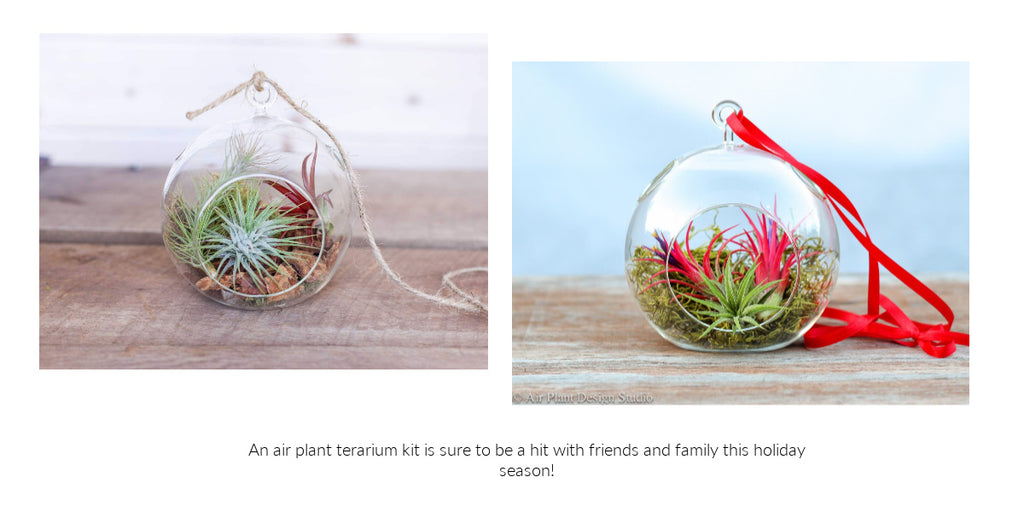 Tillandsia air plant holiday terrarium gifts