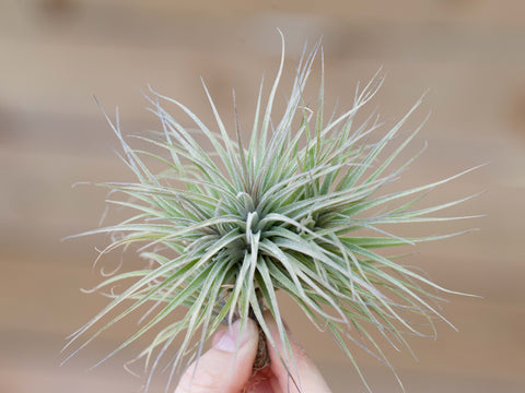 Tillandsia houston enano air plant