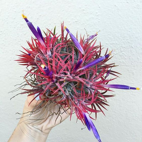 Blooming ionantha air plant clump