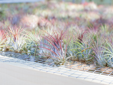 Tillandsia ionantha guatemala outside on rack