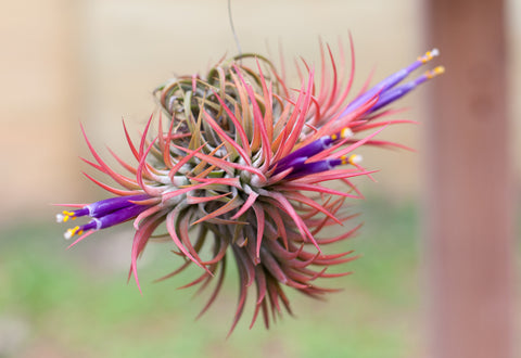 Tillandsia ionantha rubra air plant on a wire
