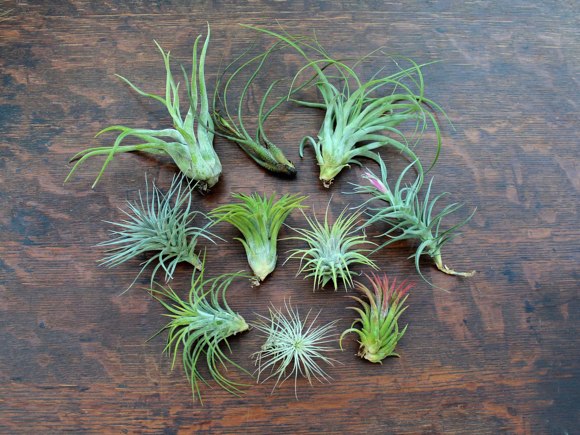 Shop tillandsia air plant combo packs for sale