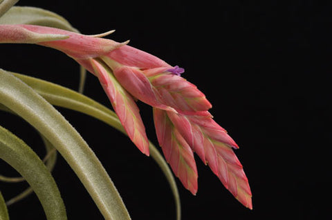 Tillandsia latifolia air plant in bloom
