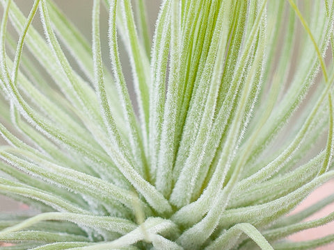Tillandsia magnusiana air plant close up