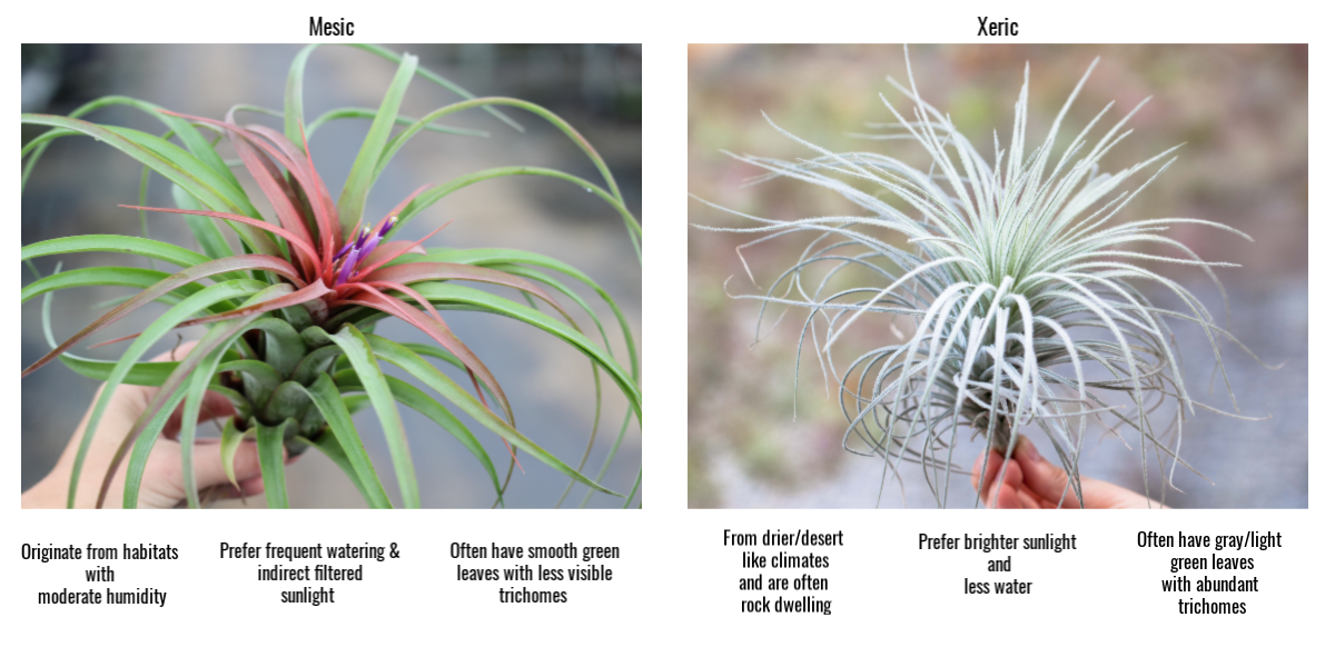 Tillandsia air plants mesic vs xeric