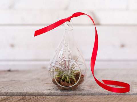 Holiday teardrop air plant terrarium
