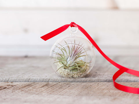 Tillandsia air plant mini terrarium