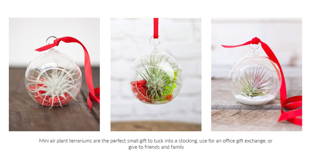 Mini Tillandsia air plant holiday terrariums