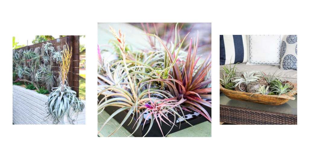 outside tillandsia air plant displays