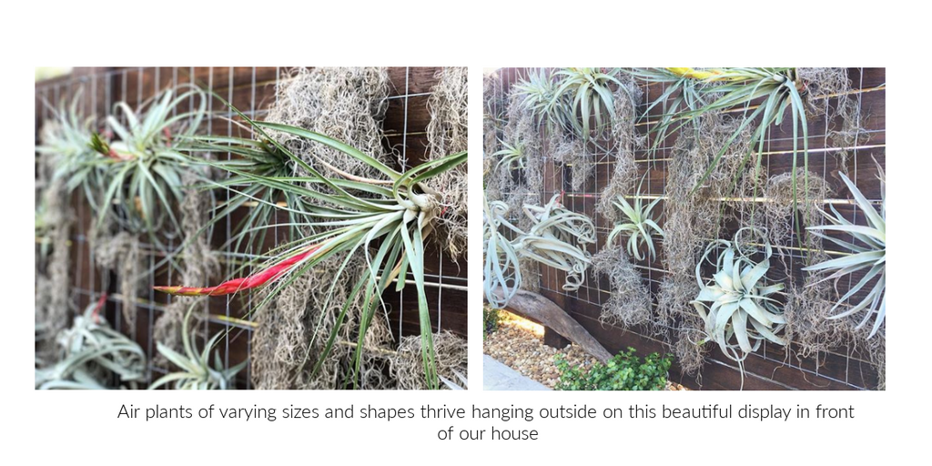 tillandsia air plant outdoor display