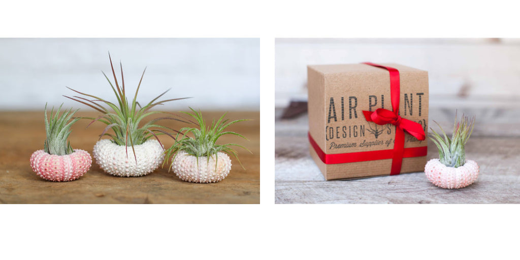 Tillandsia air plant pink sea urchin favors