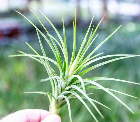 Tillandsia rectifolia air plant