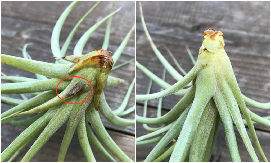What S Wrong With My Air Plant Series Air Plant Rot Or Falling
