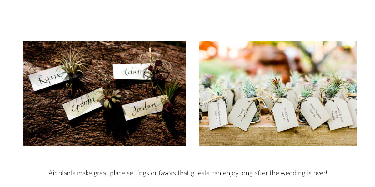 rustic tillandsia air plant favors