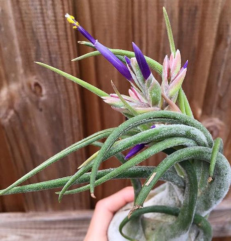 Tillandsia seleriana air plant in bloom