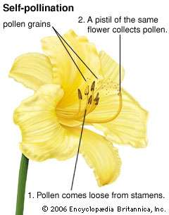self pollination graphic