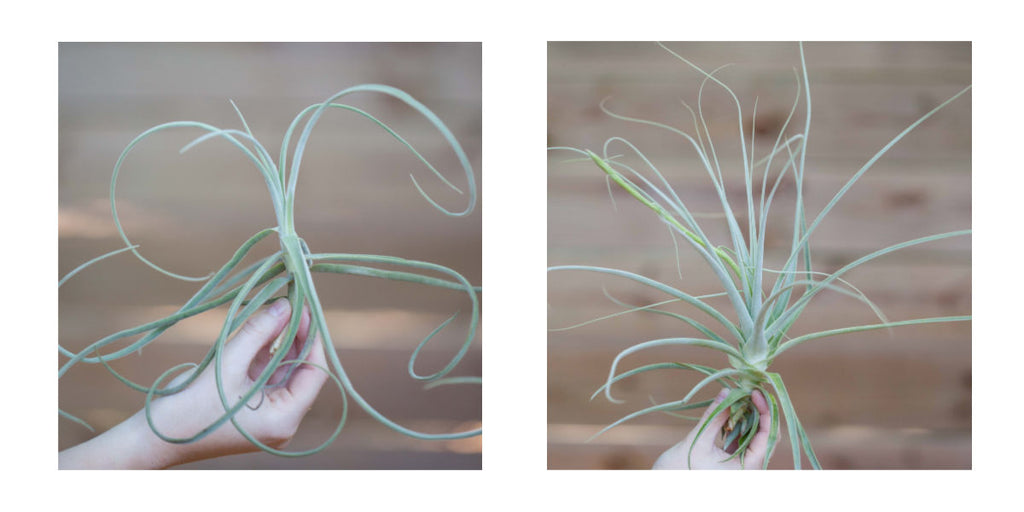 Tillandsia straminea air plant