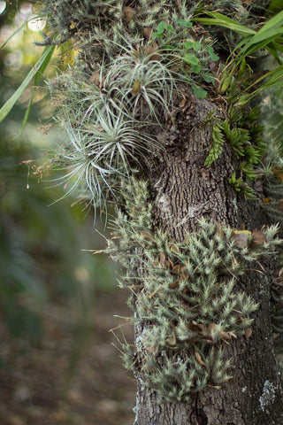 Tillandsia air plants growing on tree as epiphytes