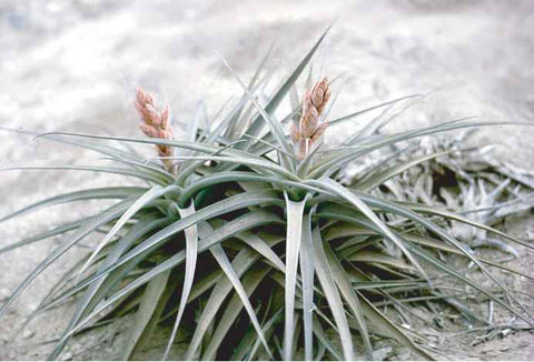 Tillandsia latifolia growing in the desert