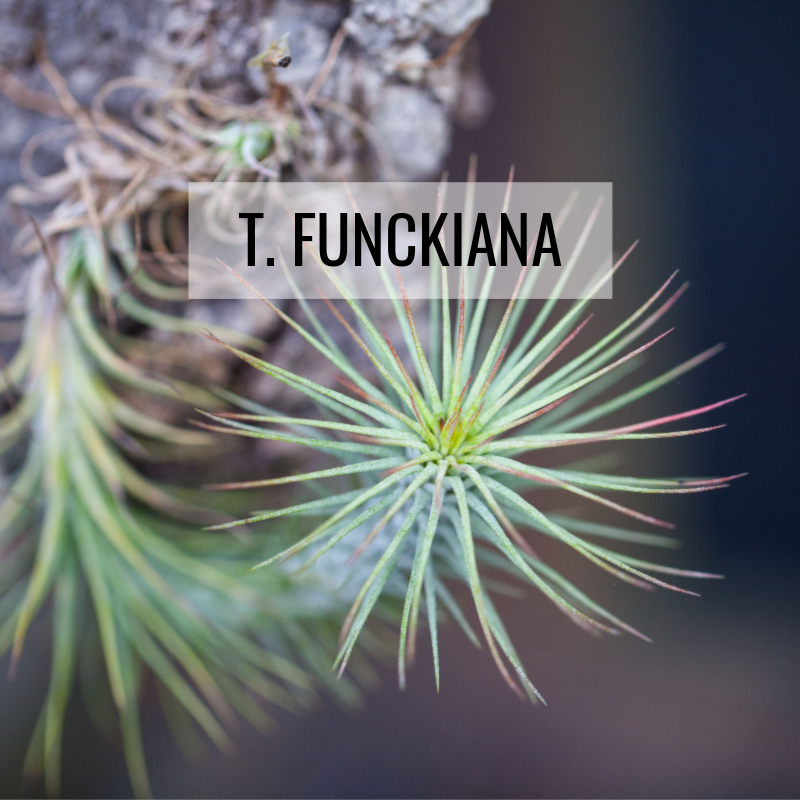 tillandsia funckiana air plants