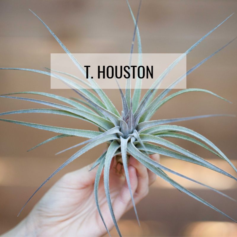 Tillandsia houston cotton candy air plant