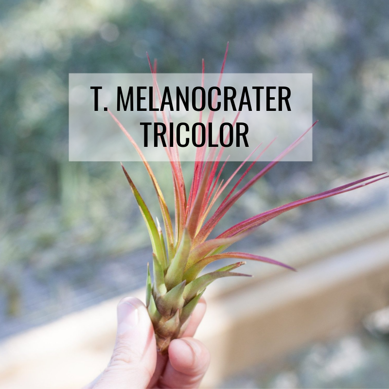 tillandsia melanocrater tricolor air plants